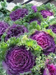 10 purple prince flowering kale brassica oleracea ornamental
