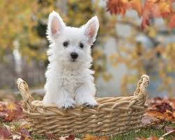 Cute Dogs Wallpapers by Poodle Dog Wallpapers Tgq295 Hd Widescreen Wallpapers For Desktop