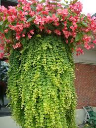begonia creeping jenny design greenwood 1