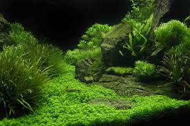 Aquascape Aquarium Plants 90p Iwagumi Rock Garden Aquascaping Aquatic Plant Central