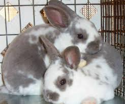 bunny breed guide rex rabbits pethelpful