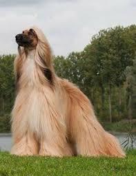 afghan hound keyring my beautiful love multi sbis ch regle living jewel