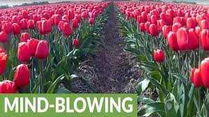 amazing drone footage captures colorful tulip fields youtube