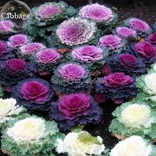 brassica oleracea ornamental cabbage kale 10 seeds mixed white