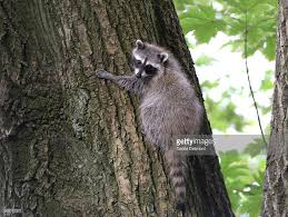 raccoon orphaned baby in tree in backyard of foster home wildcare