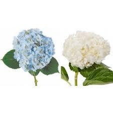 bulk hydrangeas bulk hydrangea flower muse