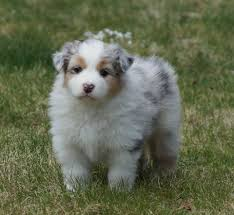 sheltie x australian shepherd paradox kennel home facebook