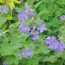 plante vivace soleil plantes vivaces geranium u0027philippe vapelle u0027 géranium vivace