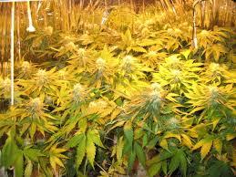 Hps Lights Sensi U003e Cannabis Forum White Label Northern Lights Feminized