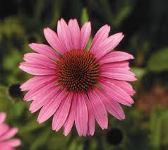Echinacea Flower 10 Edible Herbal And Medicinal Flowers Natural Health Mother