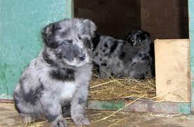 australian shepherd e bovaro del bernese razze cani cane da pastore di oropa