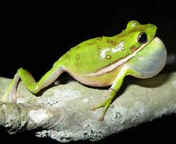 green treefrog care sheet