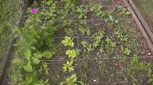 sq foot garden no dig bed bush beans and snap peas and more