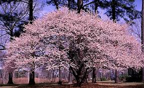 grow cherry trees from seeds