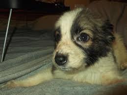 australian shepherd x husky german shepherd x husky puppies for sale tipton west midlands