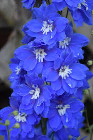 delphinium flower delphiniums plant care and collection of varieties garden org