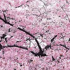 amazon com japanese pink cherry blossom tree 20