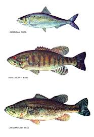 fish classification poster american shad largemouth bass zoom