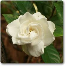 Gardenia Flower Buy Gardenia Ananta Plant Online Buy 6000 Nursery Plants N