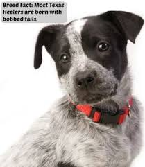 australian shepherd cattle dog mix australian cattle dog australian shepherd mix want more follow