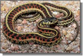common garter snakes in kansas