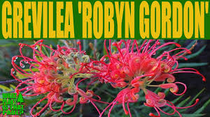 australian native plants pictures grevillea u0027robyn gordon u0027 u2022 australian native plants youtube