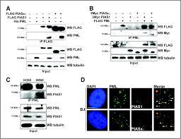 Flag Measurements The Sumo E3 Ligase Pias1 Regulates The Tumor Suppressor Pml And