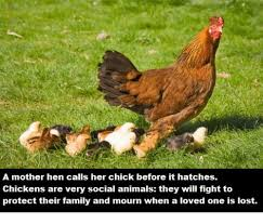 Hen Meme - a mother hen calls her chick before it hatches chickens are very