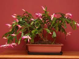 Christmas Plants Best 25 Christmas Cactus Care Ideas On Pinterest Christmas