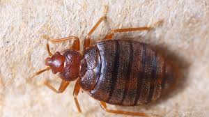 What Causes Bed Bugs To Come Out Bed Bug Bites Symptoms And Treatments