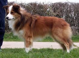 australian shepherd and border collie mix best 25 border collie pictures ideas on pinterest border collie