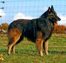 belgian sheepdog allergies belgian tervuren dog breed history and some interesting facts