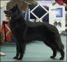 belgian sheepdog oklahoma black ice belgian sheepdogs u0026 schipperkes