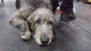 afghan hound vs wolfhound īru vilku suns baltijas uzvarētājs 2016 fci cacib suņu izstāde