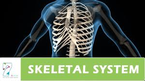 Anatomy Of Human Body Bones Human Skeletal System Youtube