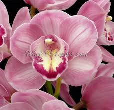 pink orchids pink mini cymbidium orchid wedding tropical flower for sale