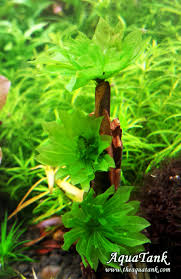 australian native aquatic plants rhodobryum giganteum moss live aquatic aquarium plants plants