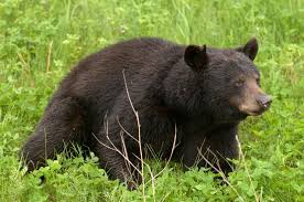 bear leaves wyoming home after pooping twice in living room upi com