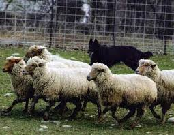 belgian sheepdog newsletter breed history belgian sheepdog club of america