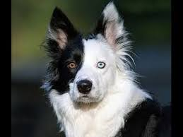 australian shepherd eye color genetics rare odd eyed dogs 2 color eyes dog youtube