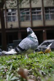 27 best pigeon world images on pinterest beautiful birds beauty