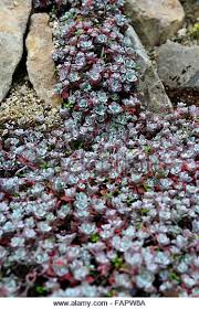 alpine succulent stock photos u0026 alpine succulent stock images alamy