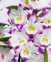 Buy House Plants Buy House Plants Now Orchid