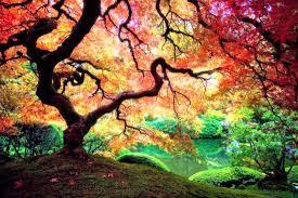 a japanese maple tree in portland oregon