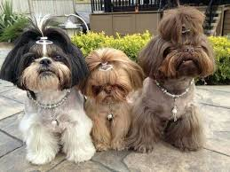 shorkie hair styles modish hairstyles for transforming your shih tzu into a princely