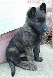 belgian sheepdog for sale uk dutch shepherd puppies google search 2016 pinterest