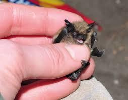small bat small species study small footed myotis