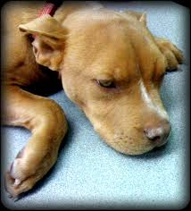american pit bull terrier lab mix virtuavet online all original pet health consultations coaching