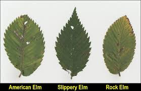 Fruit Tree Identification - elms hackberry x