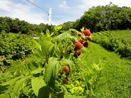 ripe for the picking summer 2017 edible asheville